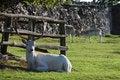 Free Adult Fallow Deer Buck Resting Royalty Free Stock Photos - 15835558