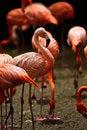 Free Caribbean Flamingo (Phoenicopterus Ruber) Stock Photos - 15837733