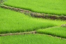 Free Green Ricefield Stock Image - 15831491
