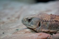 Free Lizard Royalty Free Stock Photography - 15832597