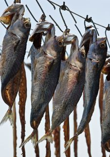 Free Drying Fish Royalty Free Stock Photo - 15832795