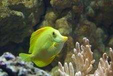 Free Yellow Fish Royalty Free Stock Photo - 15832835