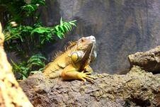 Free Iguana Royalty Free Stock Photo - 15833905