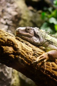 Free Iguana Royalty Free Stock Photography - 15833917