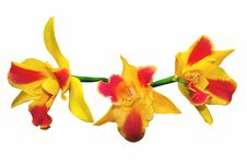 Free Orange Spotted Lip Cathley Orchid Royalty Free Stock Images - 15834079