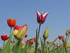 Free Mixed Tulips In Spring Royalty Free Stock Photos - 15834158