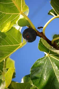 Free Figs And Bee Royalty Free Stock Photography - 15834167