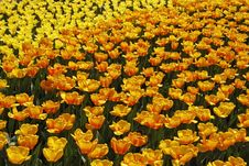 Tulip Field With Orange And Yellow Tulips Royalty Free Stock Photos