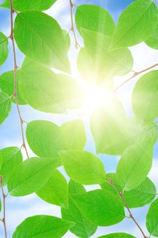 Free Green Leafe  In Sunny Day. Stock Photography - 15834952