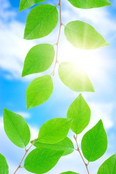 Free Green Leafe  In Sunny Day. Stock Images - 15835054