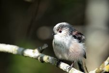 Longtail Tit. Stock Photography