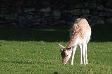 Free Young Fallow Deer Buck Royalty Free Stock Photo - 15835645