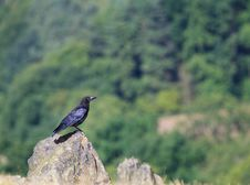 Free Rook On A Rock Royalty Free Stock Image - 15835736