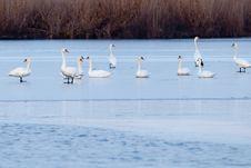 Swans On Ice Stock Photos