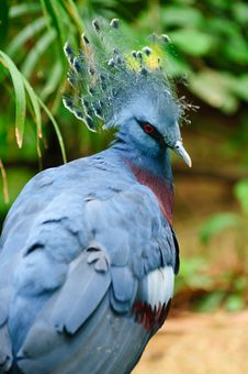 Free Victoria Crowned Pigeon (Goura Victoria) Royalty Free Stock Photography - 15837587