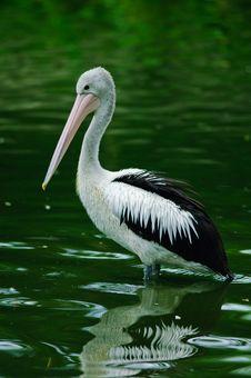 Free Australian Pelican (Pelecanus Conspicillatus) Stock Photo - 15837690