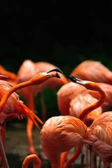 Caribbean Flamingo (Phoenicopterus Ruber) Stock Photo