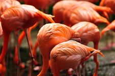 Caribbean Flamingo Feeding Stock Image
