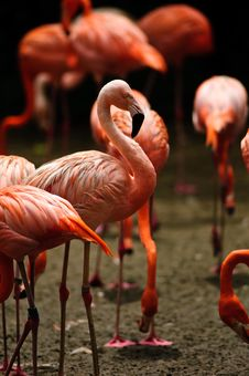 Caribbean Flamingo (Phoenicopterus Ruber) Stock Photos