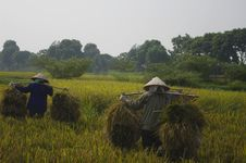 Free Women Carrying Sheaves Of Rice Stock Photos - 15837983