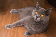 Free British Cat With Orange Eyes Royalty Free Stock Photo - 15839975