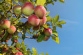 Free Apple Cluster Stock Images - 15847684
