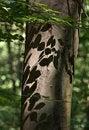 Free Beech Tree Stock Photography - 15849502