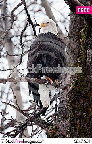 Free Majestic Bald Eagle Stock Image - 15847551