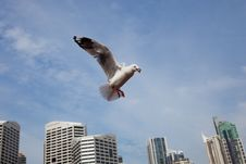 Free Feed Sea Gull Royalty Free Stock Image - 15840166