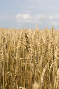 Free Rye Field Royalty Free Stock Photos - 15840298