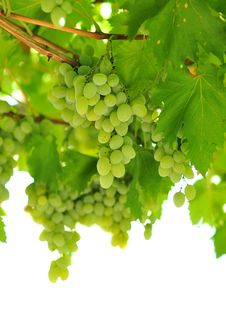 Free Grapes Stock Photos - 15840433