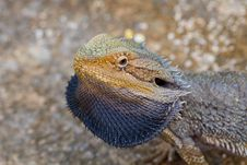 Free Colorful Lizard Stock Image - 15840681