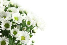 Free White Daisy Royalty Free Stock Photo - 15840745