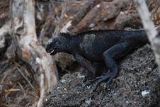 Free Galapagos Iguana Royalty Free Stock Photos - 15841078