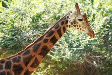 Free Giraffe Royalty Free Stock Photography - 15841107