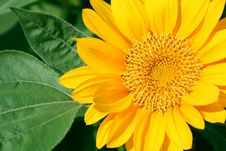 Free Sunflower Royalty Free Stock Photography - 15841527