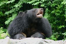 Free Black Bear In Zoo Royalty Free Stock Photos - 15841648