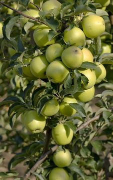 Free Green Apples On A Branch Stock Photography - 15842062
