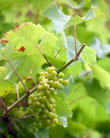 Free Wine Grapes Royalty Free Stock Photos - 15846248