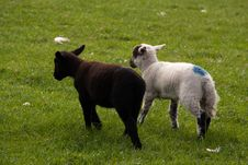 Free Lambs On A Meadow Royalty Free Stock Images - 15847149