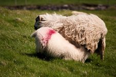 Free Ireland Sheep With Lamb Stock Images - 15847474