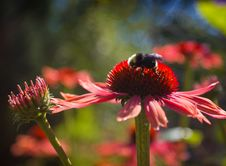 A Bumble Bee And Pink Daisies Stock Photo