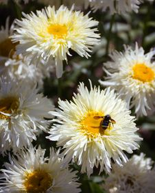 Free A Bumble Bee And Daisies Royalty Free Stock Photo - 15847485