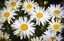 Free A Beautiful White Daisies  In The Meadow Stock Images - 15847494