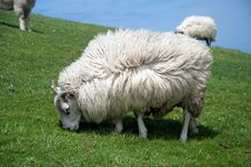 Free Ireland Sheep Stock Photography - 15847552