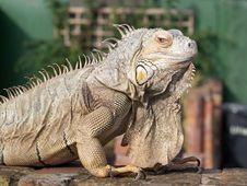 Free Iguana Royalty Free Stock Photography - 15848017