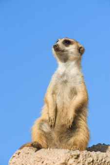 Free Suricata Standing On A Rock. Royalty Free Stock Image - 15848106