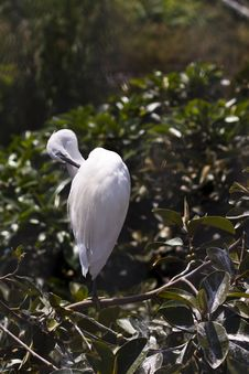 Free Little Egret Royalty Free Stock Photo - 15848115