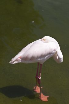 Free Flamingo Sleeping Royalty Free Stock Images - 15848139