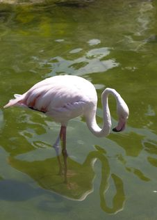 Free White Flamingo Royalty Free Stock Photos - 15848148